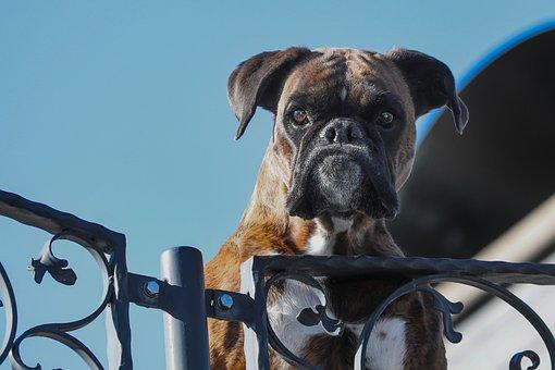 Guard Dog, Pet, Boxer, Dog, Snout, Attention, Head
