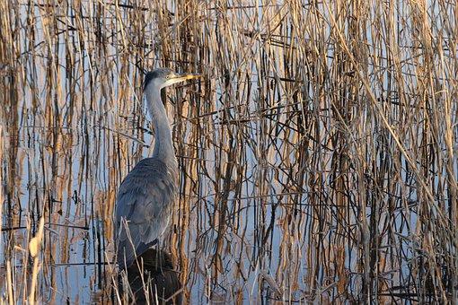 Heron, Bird, Herons, Netherlands, Amsterdam, Reed