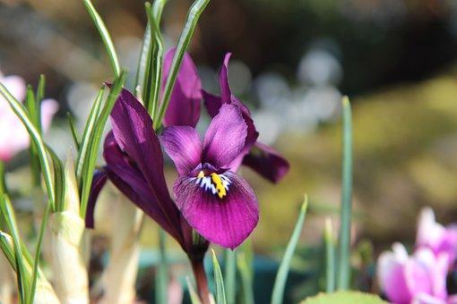Iris, Iris Purple, Mini Iris, Bulb, Flowering
