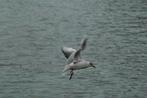 Seagull, Birds, Lake Léman, Fly, Bread, Feed