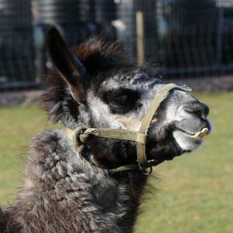 Lama, Mammal, Beast Of Burden, South America, Halter