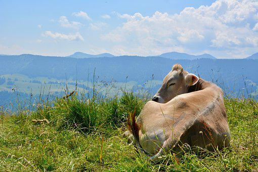 Allgäu, Mountains, Cow, Panorama, Landscape, Sky