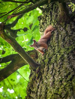 Squirrel, Forest Animal, Rodent, Nature, Nager