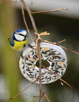 Tit, Bird, Tit Rings, Songbird, Animal, Garden, Nature