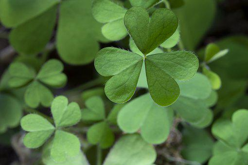 Clover, Plants, Nature, Green, Good Luck, Shamrock