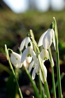 Snowdrop, Close Up, Flower, Signs Of Spring, Spring