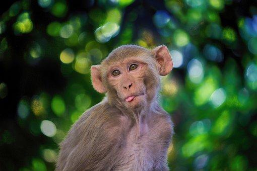 The Rhesus Macaque, Monkey, Mammal, Animals, Nature