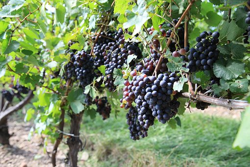 Grapes, Vineyard, The Vine, Winery, Fruit, Nature