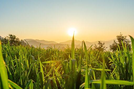 In Wheat Field, Wheat, Green Leaf, Sky, Sun, China
