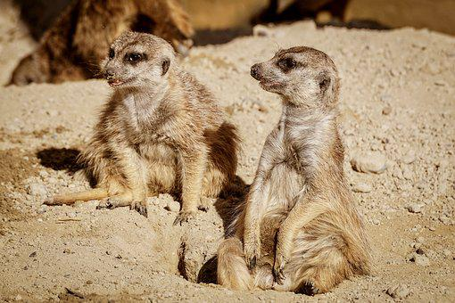 Meerkat, Funny, Watch, Zoo, Cute, Mammal, Nature