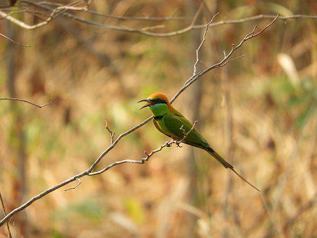 Bird, Bee-eater, Nature, Colorful, Brown Bee