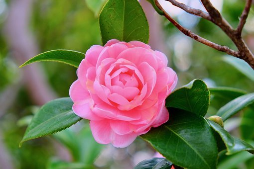 Flower, Camellia, Branches, Winter, Bud, Petal