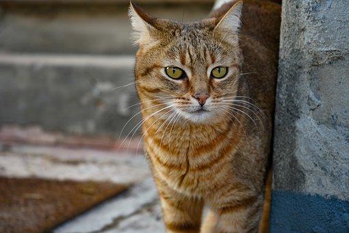 Cat European, Cat Celtic, Cat, Look, Eyes, Brindle