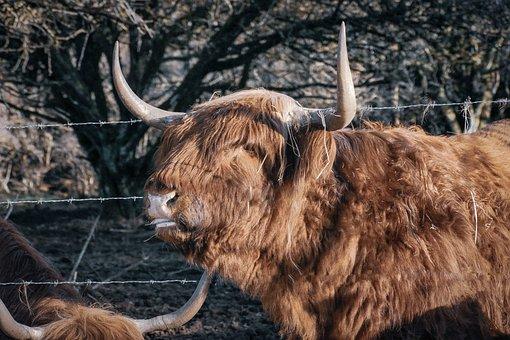 Cows, Animal, Livestock, Farm, Cattle, Beef, Mammal