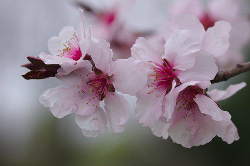 Cherry, Flower, Pink, Spring, Tree, Branch, Blooming