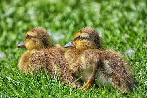 Chicks, Ducklings, Mallard, Cute, Bird, Water Bird