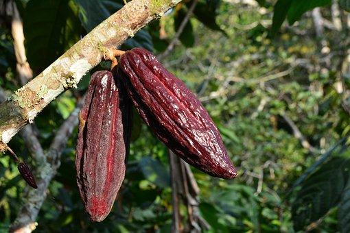 Cocoa, Cacao, Plant, Cacao Plant, Cocoa Fruit, Fruit