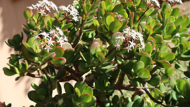 Tree Of Jade, Crassula, Flowers, Plant, Succulent