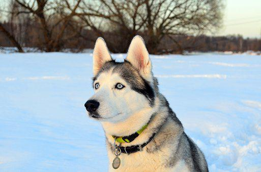 Dog, Husky, Snow, Sunset, Siberian, Winter, View, Eyes