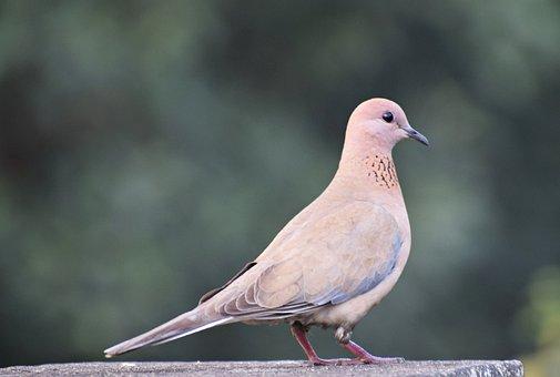 Bird, Nature, Animal, Dove, Outdoors, Wild, Fauna, Wing
