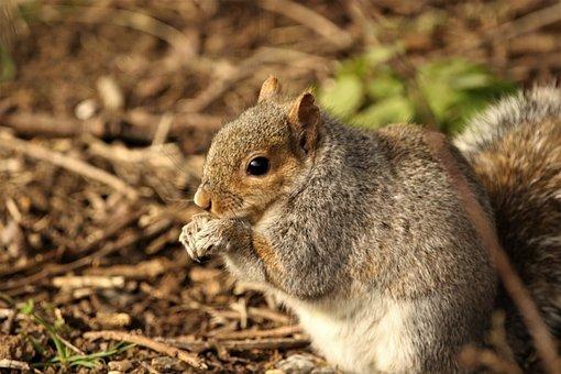 Squirrel, Feeding, Nature, Forest, Wildlife, Cute