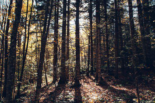 Forest, Trees, The Trunks Of The Trees, Dense, Sun