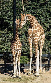 Giraffes, Mother And Child, Love, Nature, Baby, Animals