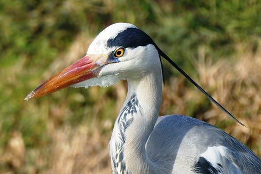 Heron, Grey Heron, Head, Beak, Feathers, Feather, Bird