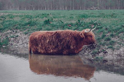 Cow, Scottish, Highlander, Cattle, Meadow, Horns, Grass