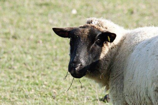 Sheep, Sheep Sun Bathing, Mammal, Sheep In A Field