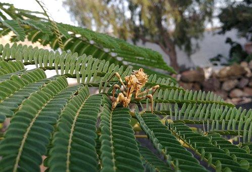 Mantis, Blepharopsis Mendica, Larval Stage, Insect