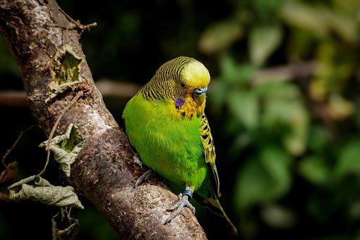 Budgie, Birds, Ziervogel, Plumage, Parakeet, Parrot