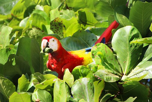 Parrot, Red, Ara, Costa, Rica, Almond Tree, Almond