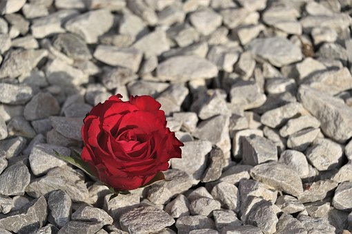 Red, Red Rose, Pebbles, Nature, Romance, Stone