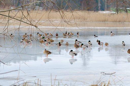 Mallard, Bird, Colors, Winter, Ice, Water, Cold, Swim