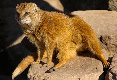 Animal, Fuchsmanguste, Tiergarten, Curious, Guard