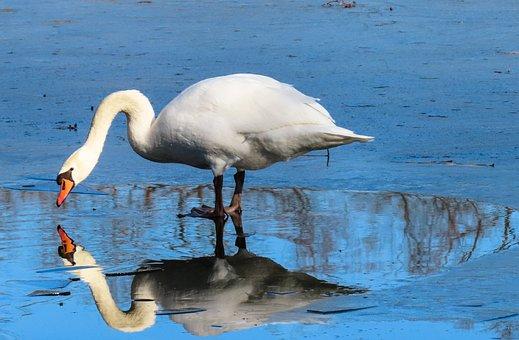 Animals, Bird, Swan, Water Bird, Nature, Winter, Ice