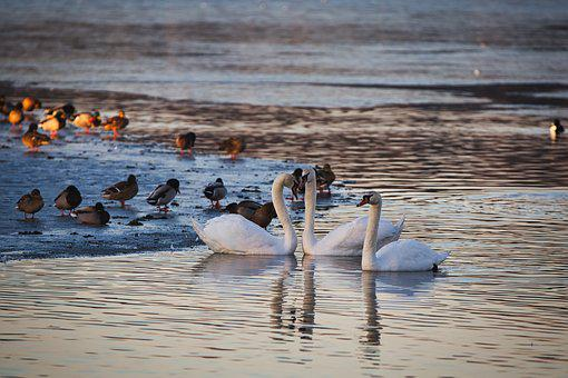 Pond, Swans, Ice, Water, Morning Sun, Winter, Swan