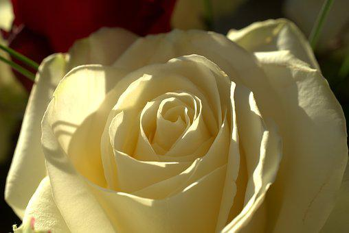 Rose, White, Love, Wedding, Romance, Mourning, Beauty