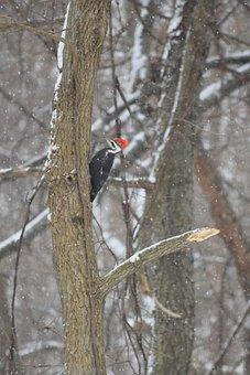Woodpecker, Bird, Foraging, Nature, Tree, Perched, Beak