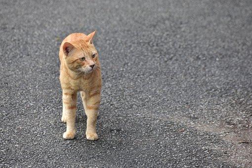 Cat, Oren, Malaysia, Orange, Kucing, Pets, Animal