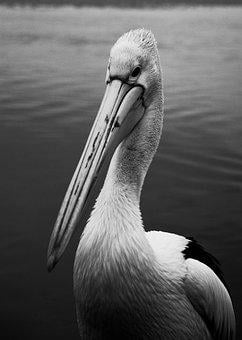Pelican, Bird, Beach, Australia, Water, Beak, Bill