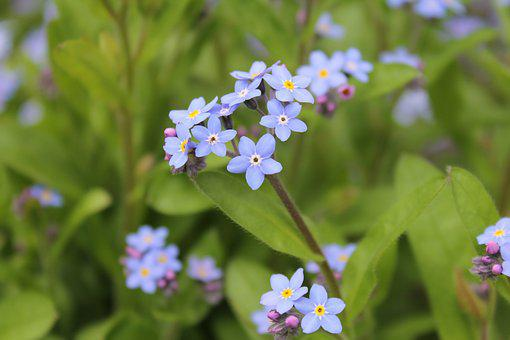 Green, Blue, Flowers, Nature, Summer, Forget Me Maybe