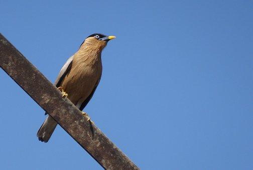 Bird, Myna, Mynah, Brahminy Myna, Starling