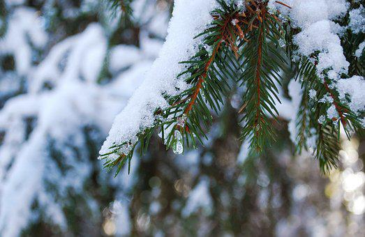 Branch, Spruce, Snow, Needles, Tree, Nature, Winter