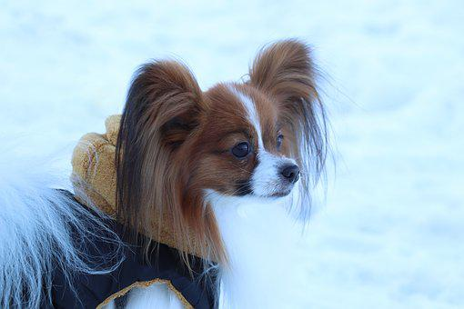 Dog, Breed, Snow, Papillon, Portrait, Fur, Animals