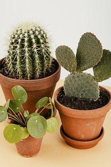 Botanic, Botanical, Botany, Bunny Ears Cactus, Cacti