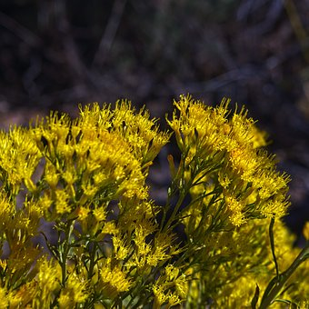 Needles District Rabbitbrush, Desert, Chrysothamnus