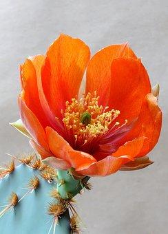 Flower, Cactus, Opuntia, Succulent, Nature, Desert