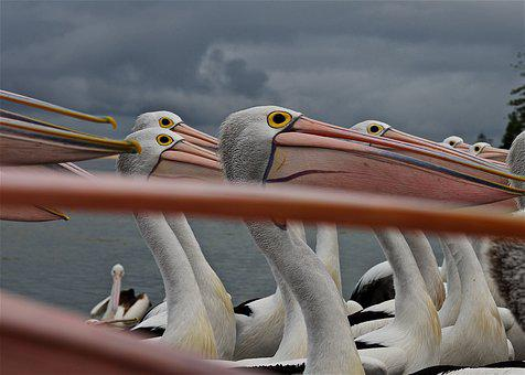 Pelican, Eyes, Beak, Nature, Wildlife, Bill, Large
